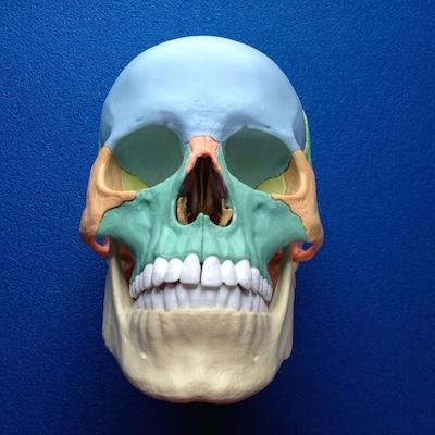skull model anterior view