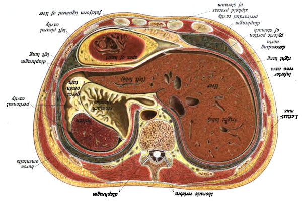 Cross-section of the abdomen oriented to help you understand your own body.