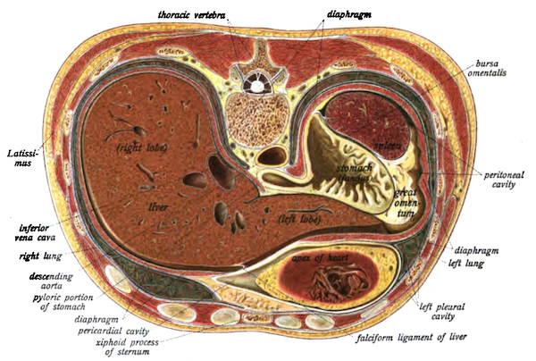 A cross-section of the abdomen from Johannes Sobatta's 1906 <em>Atlas</em>.
