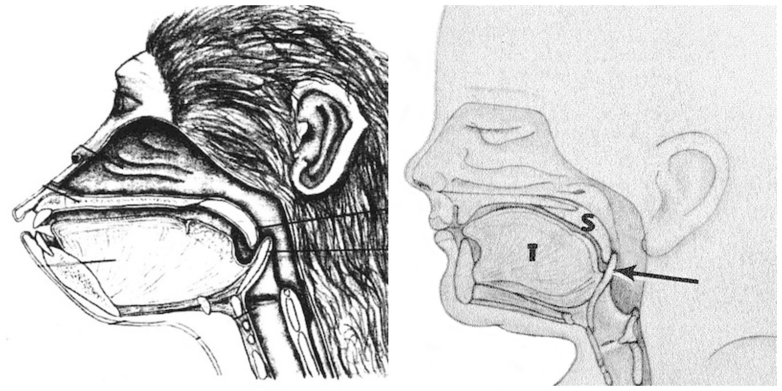 Comparison of chimpanzee and human infant vocal tracts.