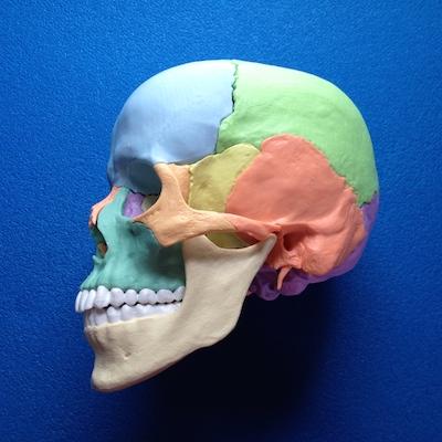 skull model sagittal view