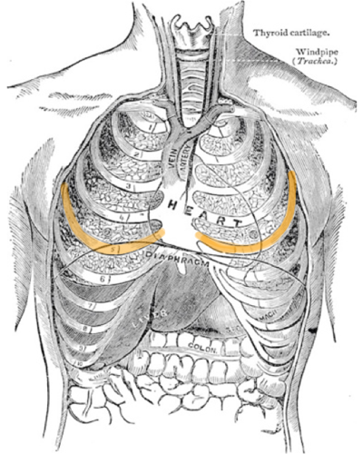 Frederick Garbit illustration of the thorax showing the position of the fifth ribs.
