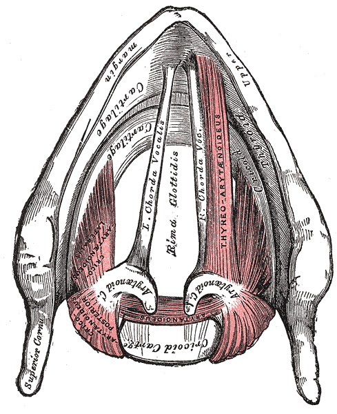 Superior view of the larynx from <em>Gray's Anatomy</em> inverted to help us understand its position in our own bodies.