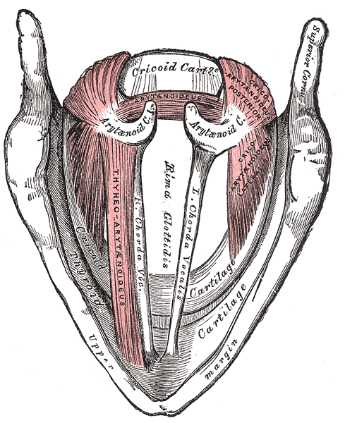 Superior view of the larynx and vocal cords from <em>Gray's Anatomy</em>.