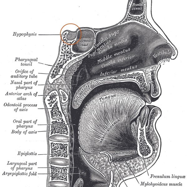 Sella Turcica from Gray's Anatomy