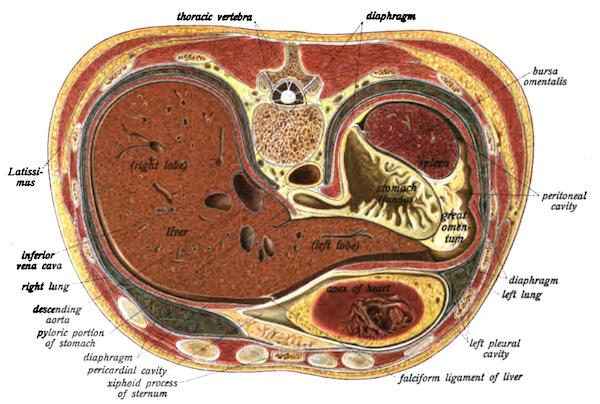 A cross-section of the abdomen from Johannes Sobatta's 1906 <em>Atlas</em>.
