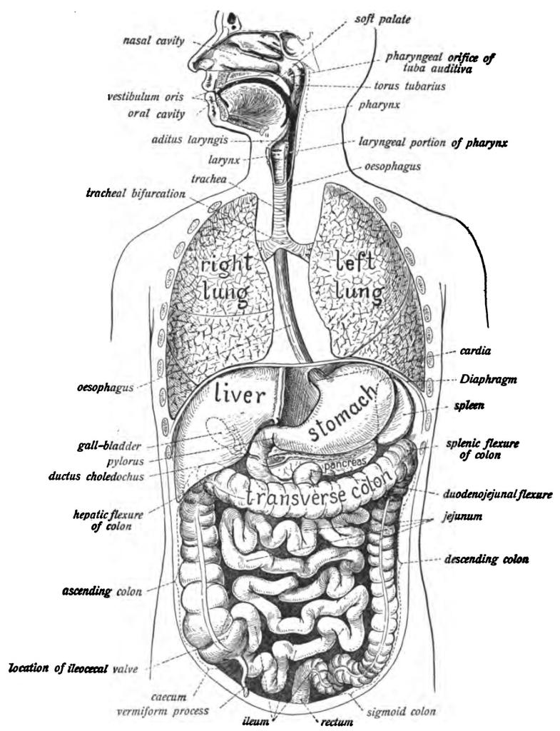 Johannes Sobatta organs of the thorax and abdomen (1906)