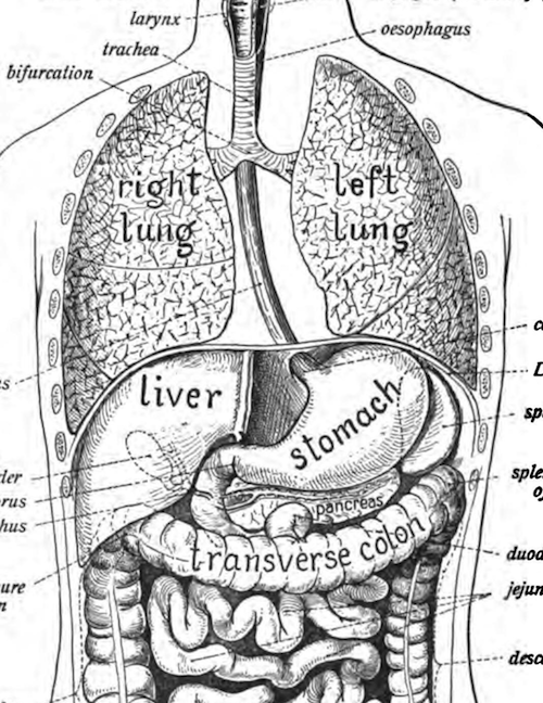 Illustration of the organs of the thorax and abdomen from Johannes Sobotta's 1906 <em>Atlas and Text-book of Human Anatomy</em>