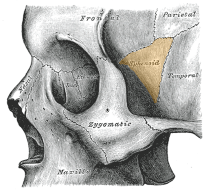 View of the side of the skull showing the location of the sphenoid bone at the temple.