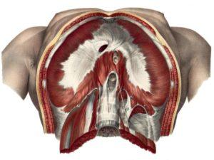 Diaphragm - inferior view