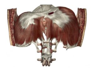Posterior view of the diaphragm.