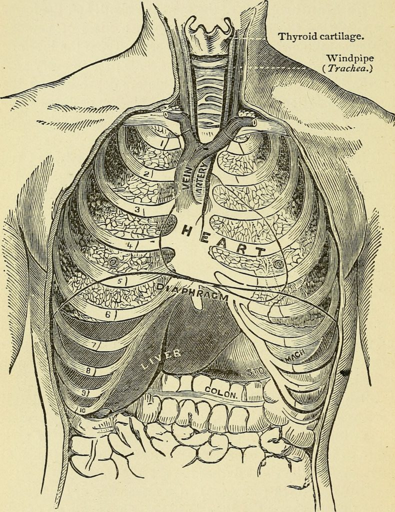 An illustration showing the diaphragm's position relative to the heart lungs (above) and abdominal organs (below).