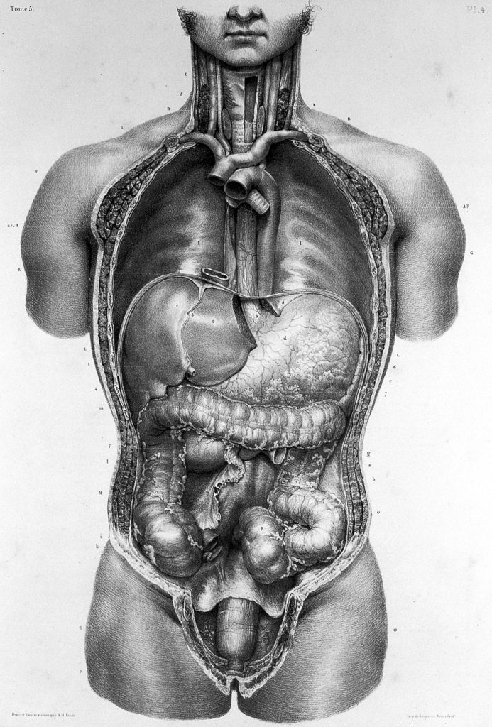 An 1836 illustration by Nicolas-Henri Jacob showing the diaphragm and abdominal organs.