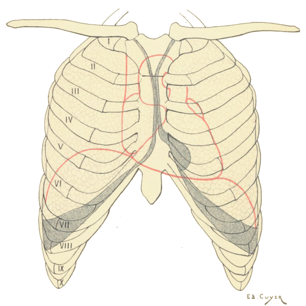 An illustration by Édouard Cuyer showing the position of the domes of the diaphragm relative to the ribs. From Paul Poirier's 1899 Traité d'anatomie humaine.